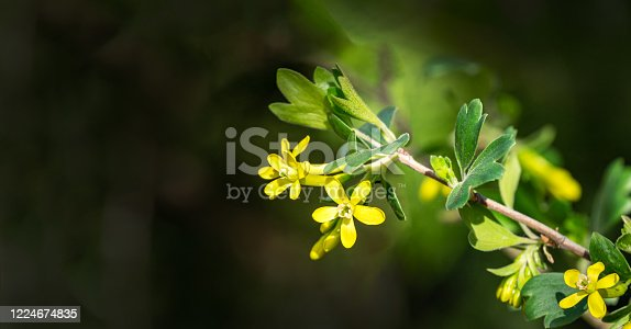istock Ribes aureum flower blooming. Soft selective focus of yellow flowers golden currant, clove currant, pruterberry and buffalo currant on garden green background. Place for your text 1224674835