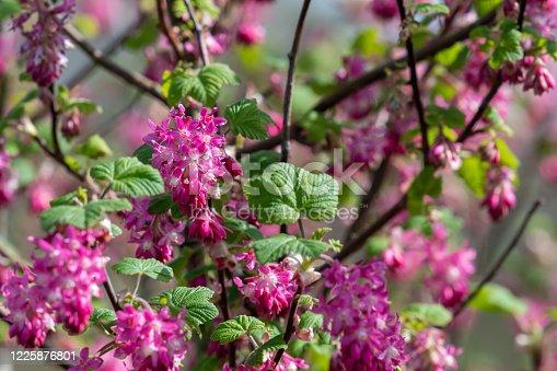 istock Ribes flowers 1225876801