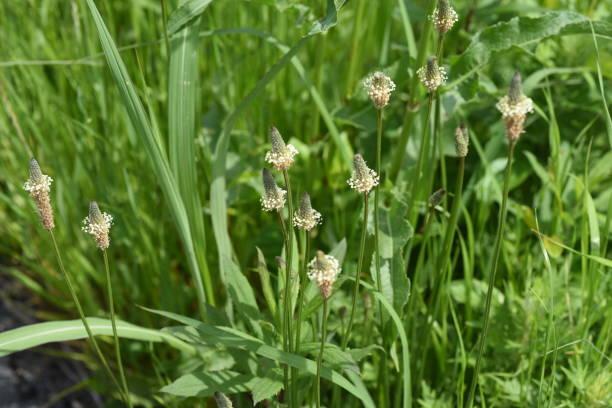 Ribwort plantain – zdjęcie