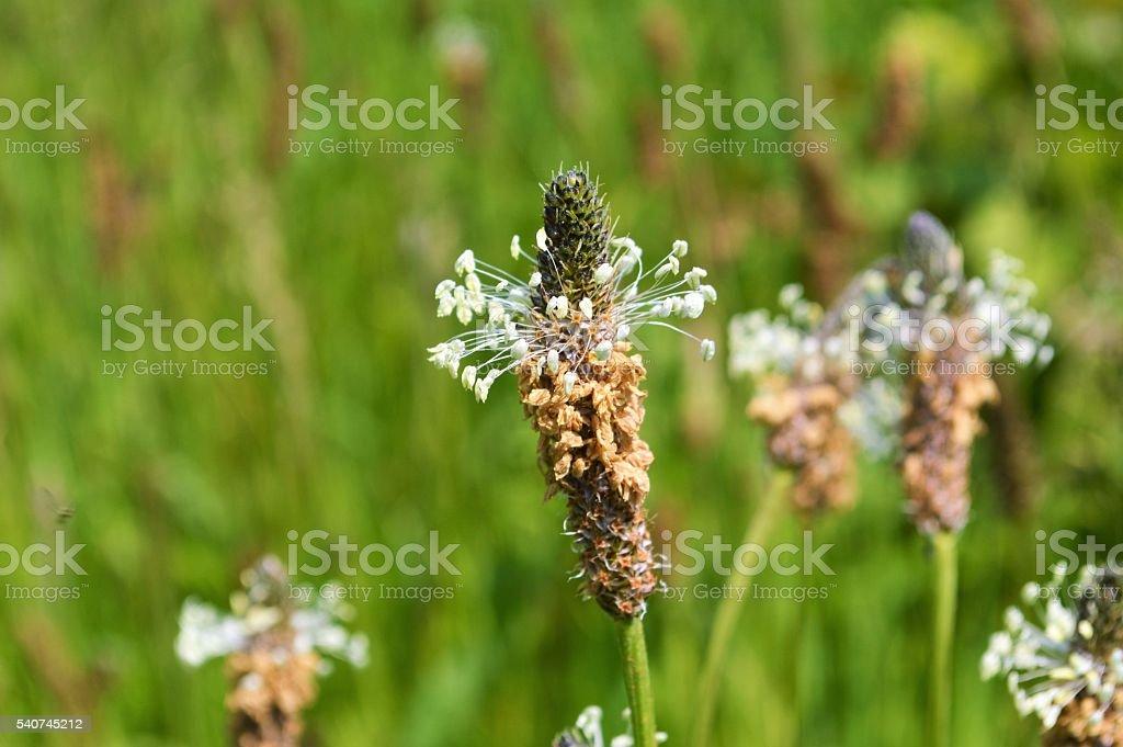 Ribwort Plantain (Plantago lanceolata). – Foto