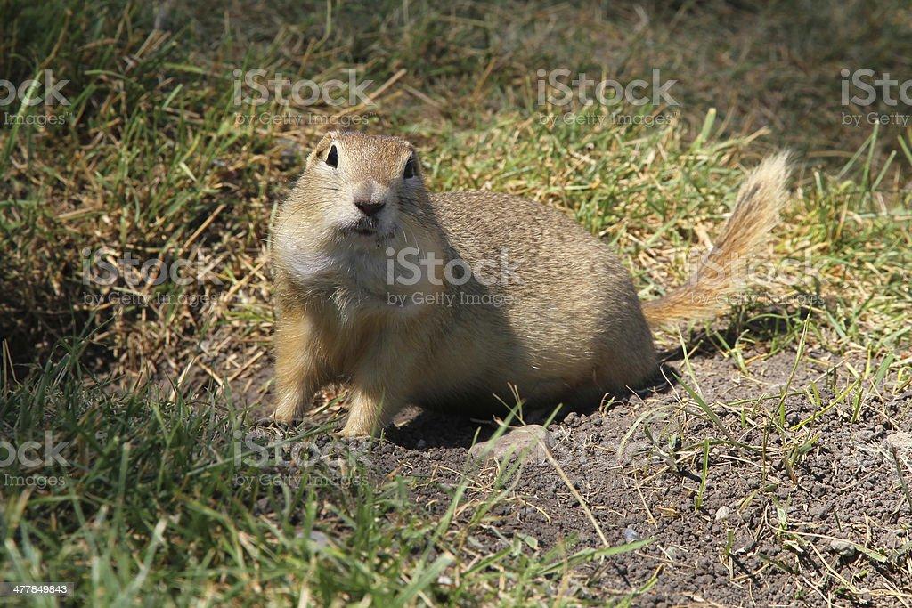 Ricard Ground Squirrel stock photo