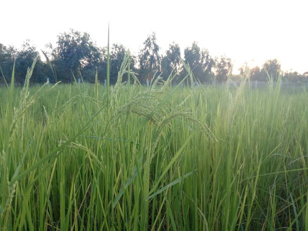 Rice and blue sky in the evening stock photo