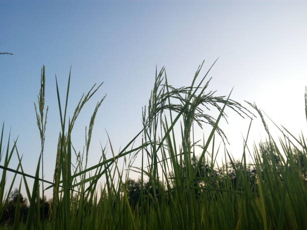 Rice and blue sky in the morning stock photo