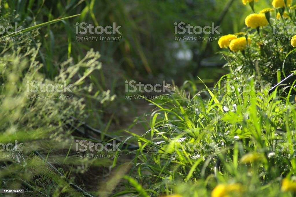 Rice and flower filed royalty-free stock photo