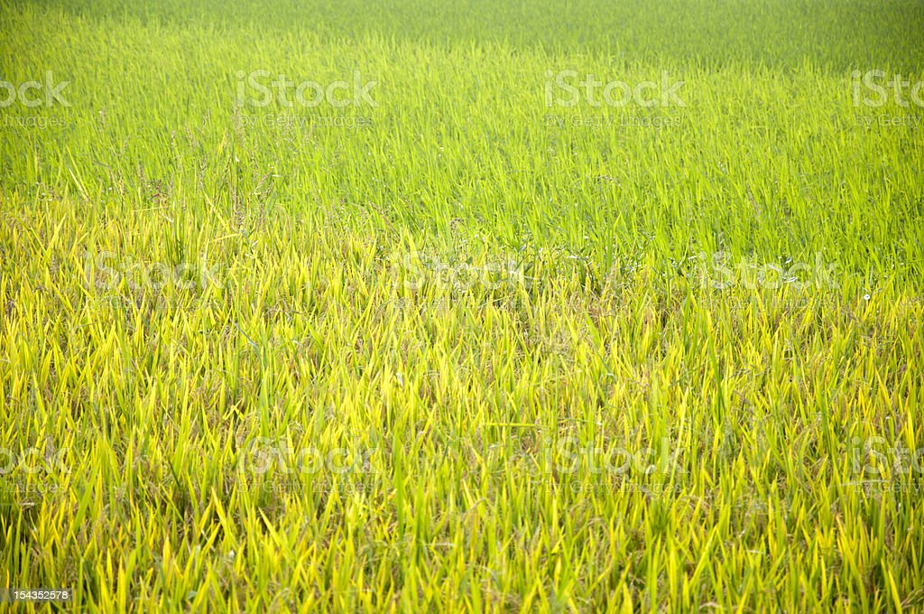 Rice and seedlings stock photo