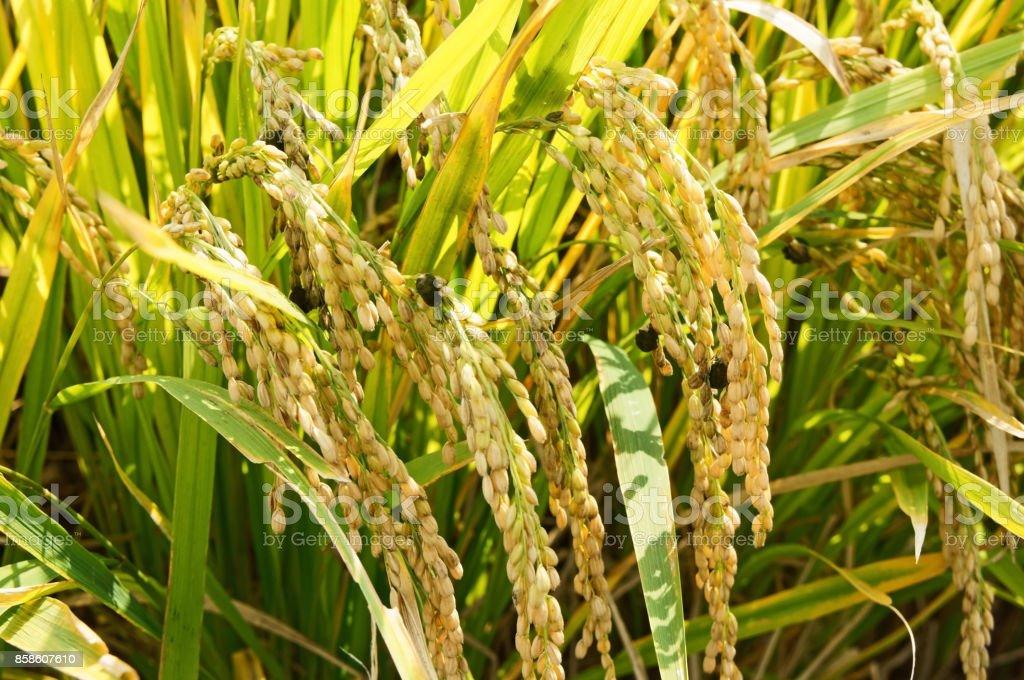 rice blast disease stock photo