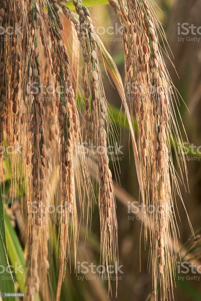 Rice close-up in the sunset stock photo