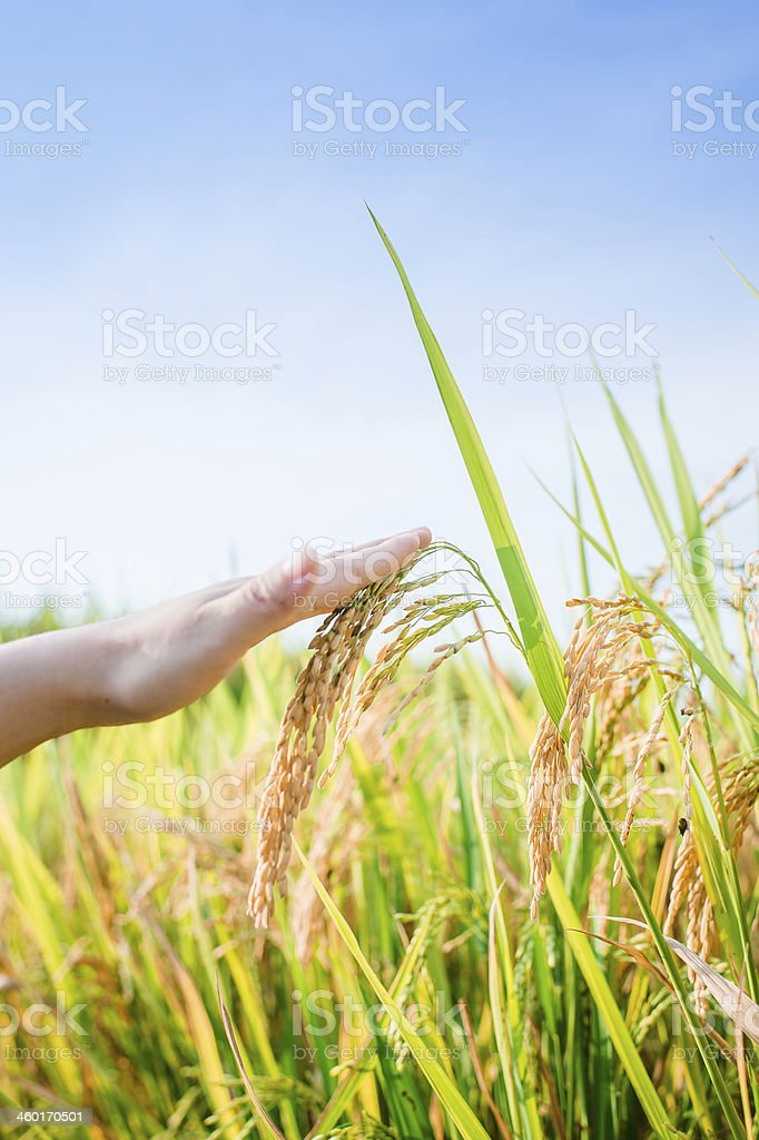 Rice Crop Growth royalty-free stock photo