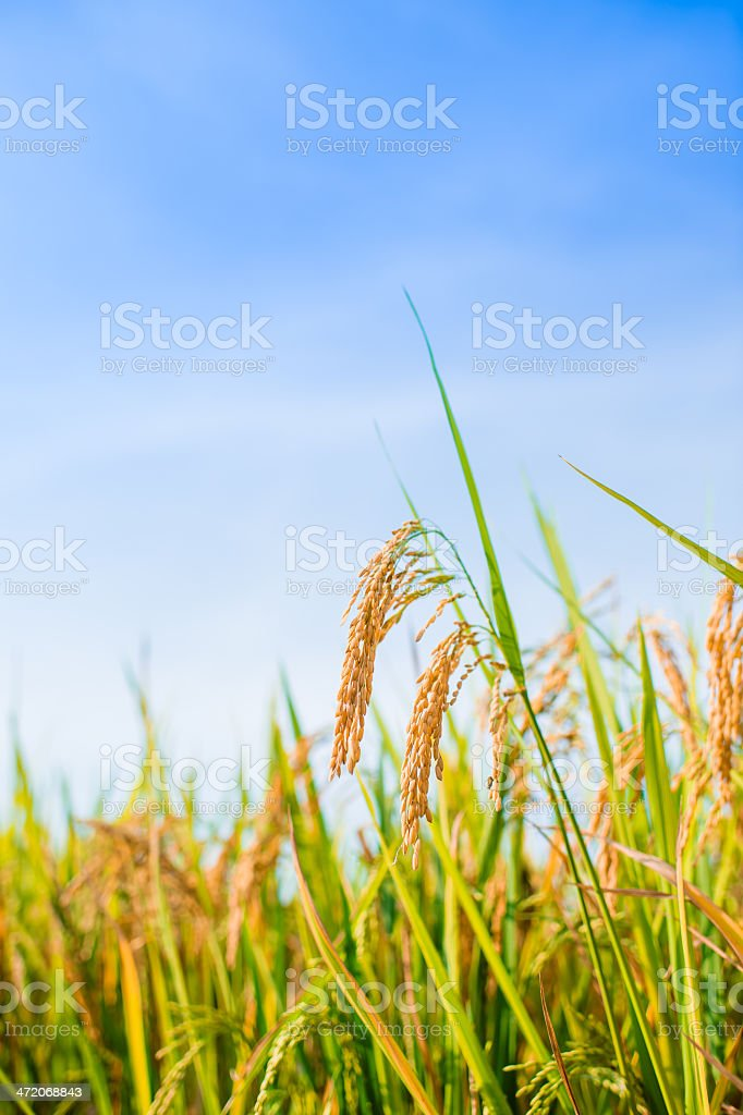Rice Crop in Paddy Field stock photo