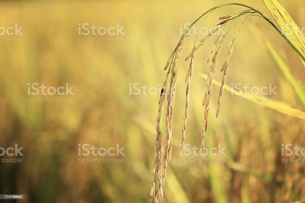 Rice crop in the sunshine royalty-free stock photo