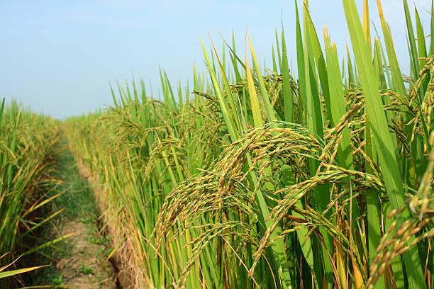 rice crop in der sonne - reisgerichte stock-fotos und bilder