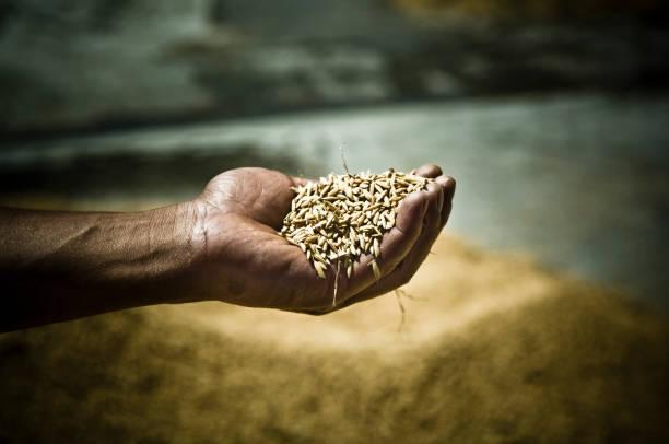 Rice crop stock photo