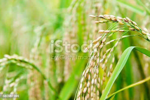 Ear of rice in the field.