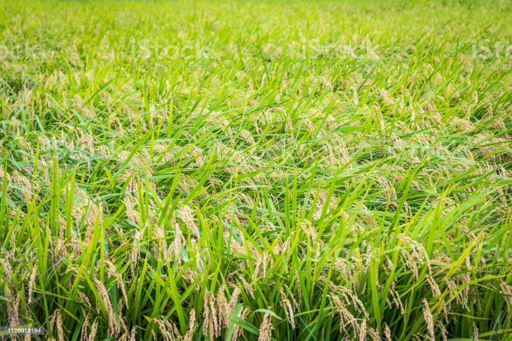 Rice Crop Ready for Harvest stock photo