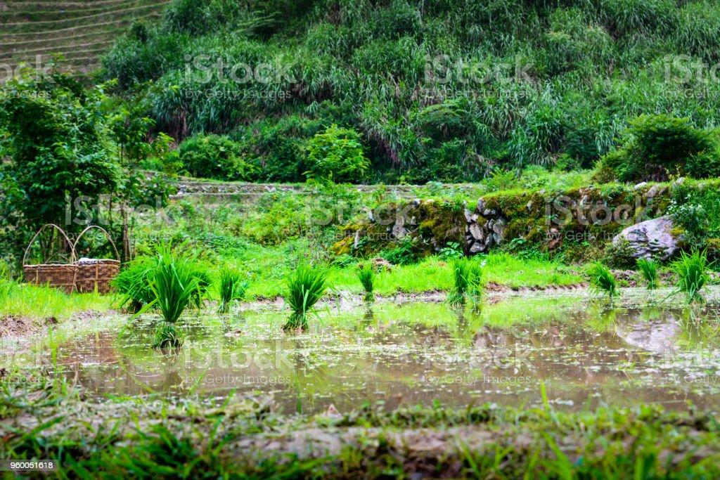 Cultivo De Arroz Listo Para Plantar En La Terraza De Arroz