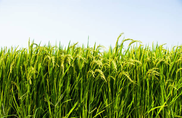 Rice crop soon to be harvest Rice crop soon to be harvest rice paddy stock pictures, royalty-free photos & images