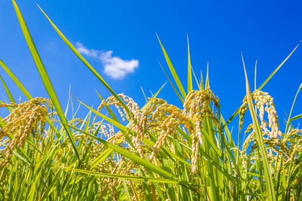 Rice cultivar of harvest stock photo
