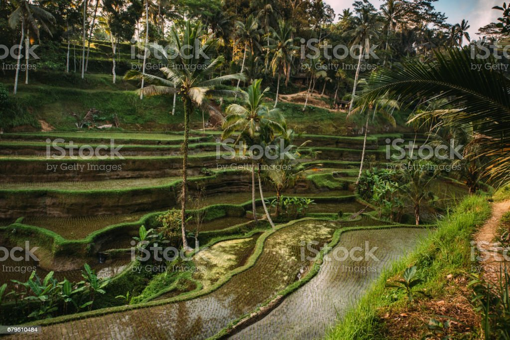 Rice cultivation in Bali, Indonesia. Rice terraces with sky reflecting during golden hour at evening'n royalty-free stock photo