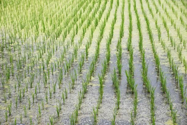 Rice cultivation – zdjęcie