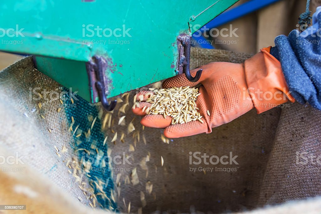 Rice drop on hand stock photo