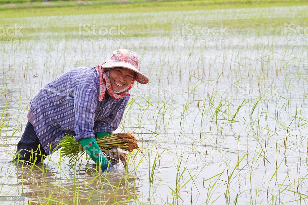 Rice farmers are withdrawing the seedlings to transplanting,Thai stock photo