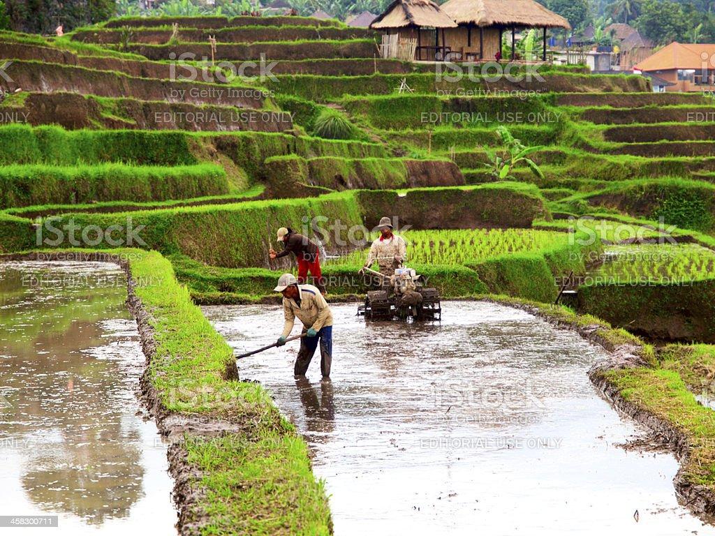 Rice farmers on Bali. royalty-free stock photo