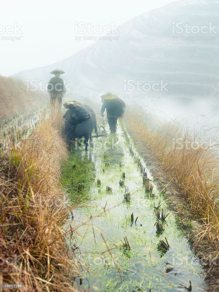 Rice farmers stock photo