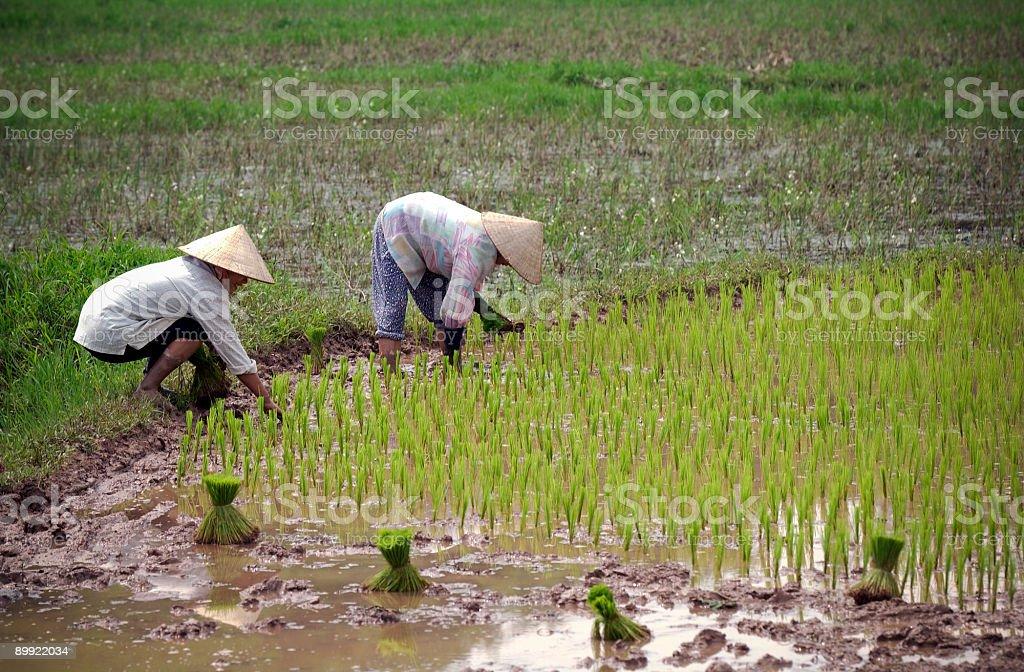 Rice Farmers royalty-free stock photo