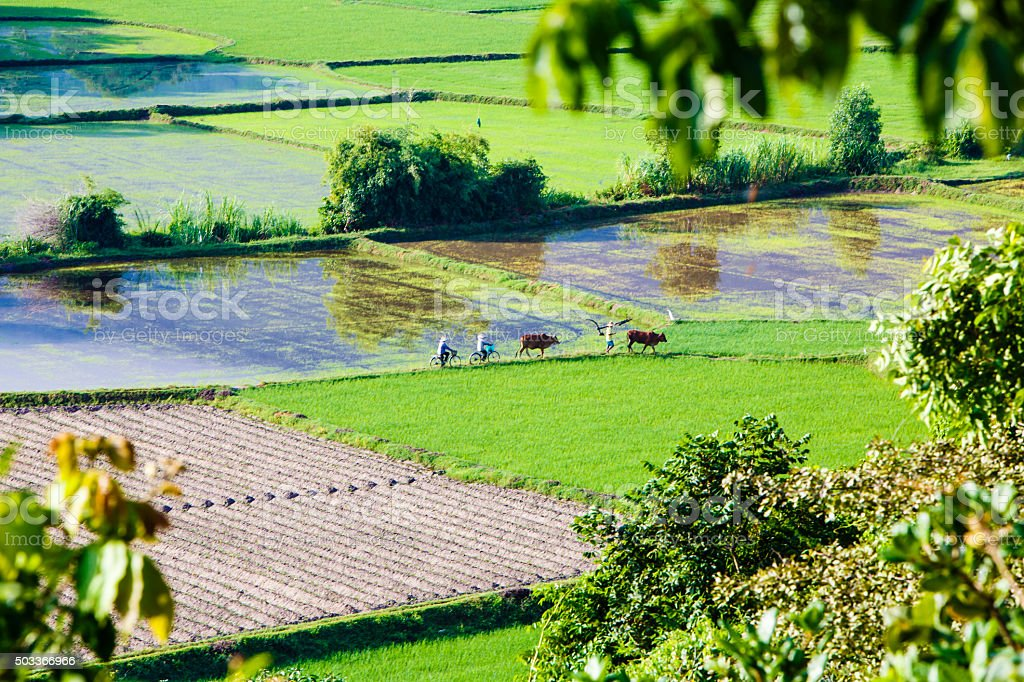 Rice field at Chau Doc, An Giang Province ,Vietnam stock photo