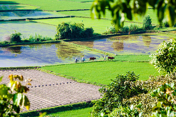 rice field at chau doc, an giang province ,vietnam - mekong river stock pictures, royalty-free photos & images