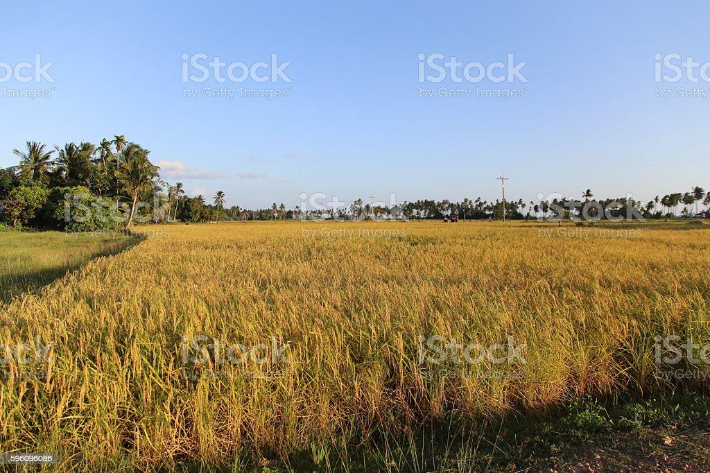 Rice Field at Koh-Sukorn in Trang, Thailand royalty-free stock photo