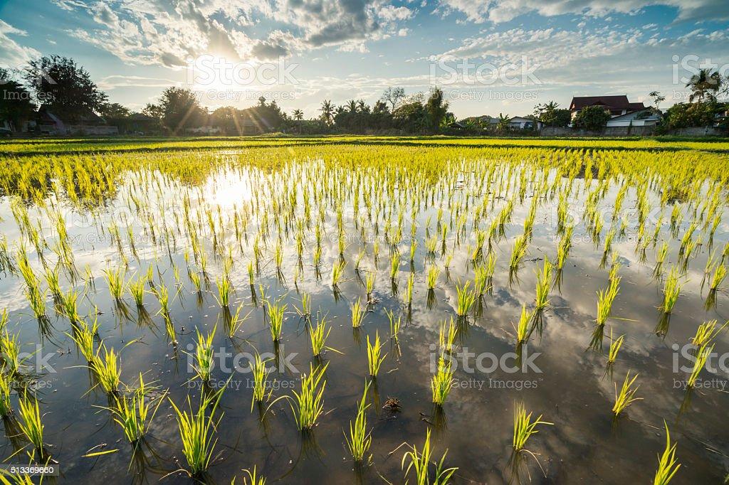 Rice field at sunrise stock photo