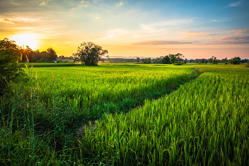 Green rice field before sunset in countryside, Nakhon Thai district, Phitsanulok, Thailand