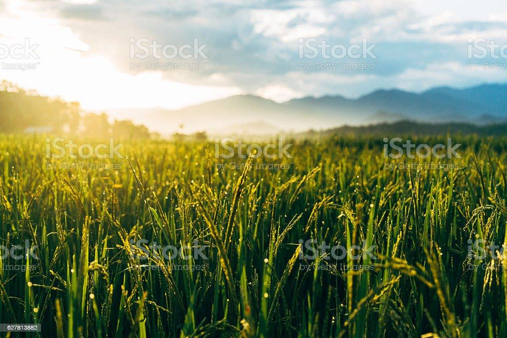 Rice field at sunset stock photo