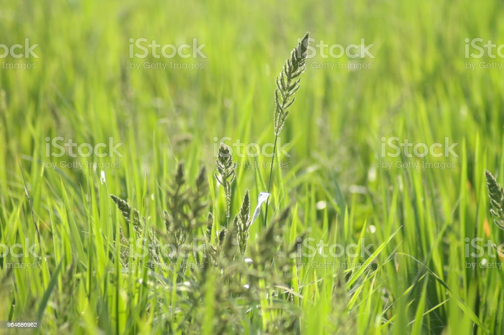 Rice field Belthur royalty-free stock photo
