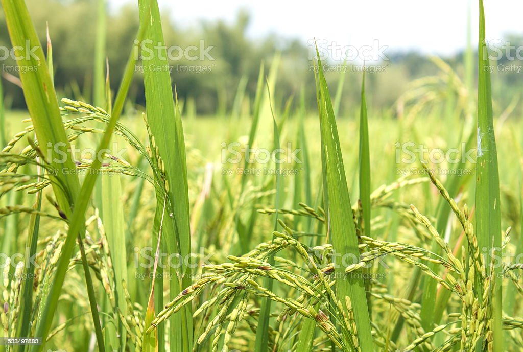 Rice Field Closeup stock photo