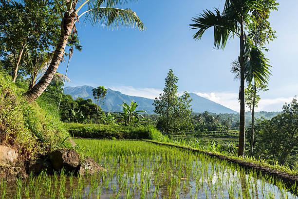 rice field facing the rinjani volcano in lombok - lombok stockfoto's en -beelden