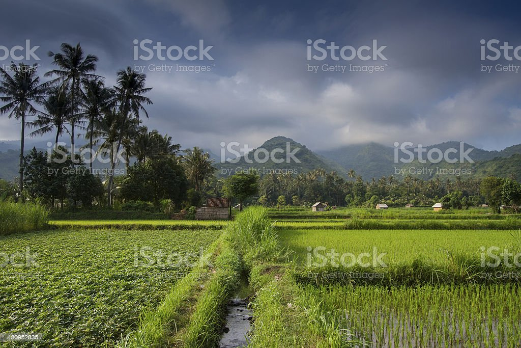 Rice field in Bali royalty-free stock photo