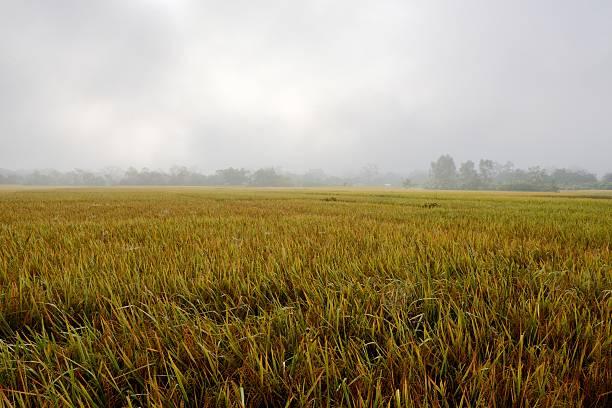 Rice field in fog stock photo