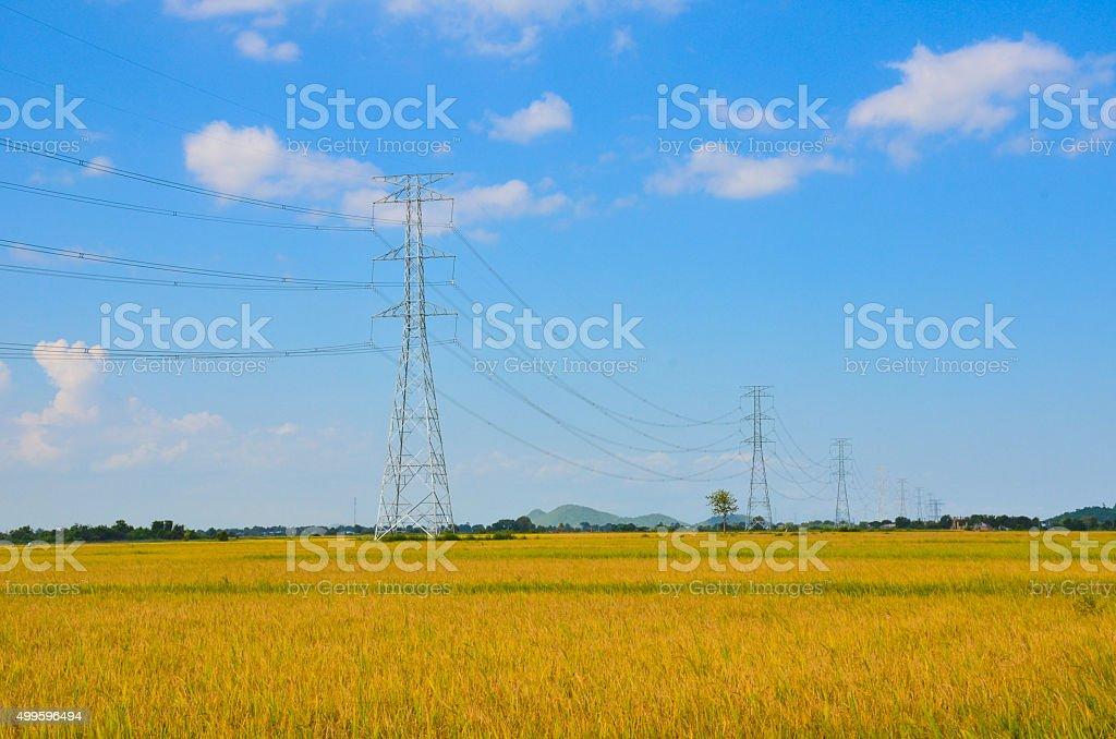 Rice field in Mekong delta stock photo