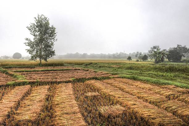 Rice field in Nepal stock photo