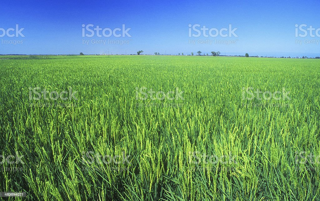 Rice Field in the Central Valley of California stock photo