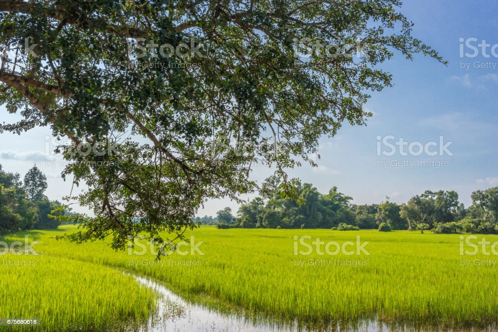 Rice field in the evening, Cambodia royalty-free stock photo