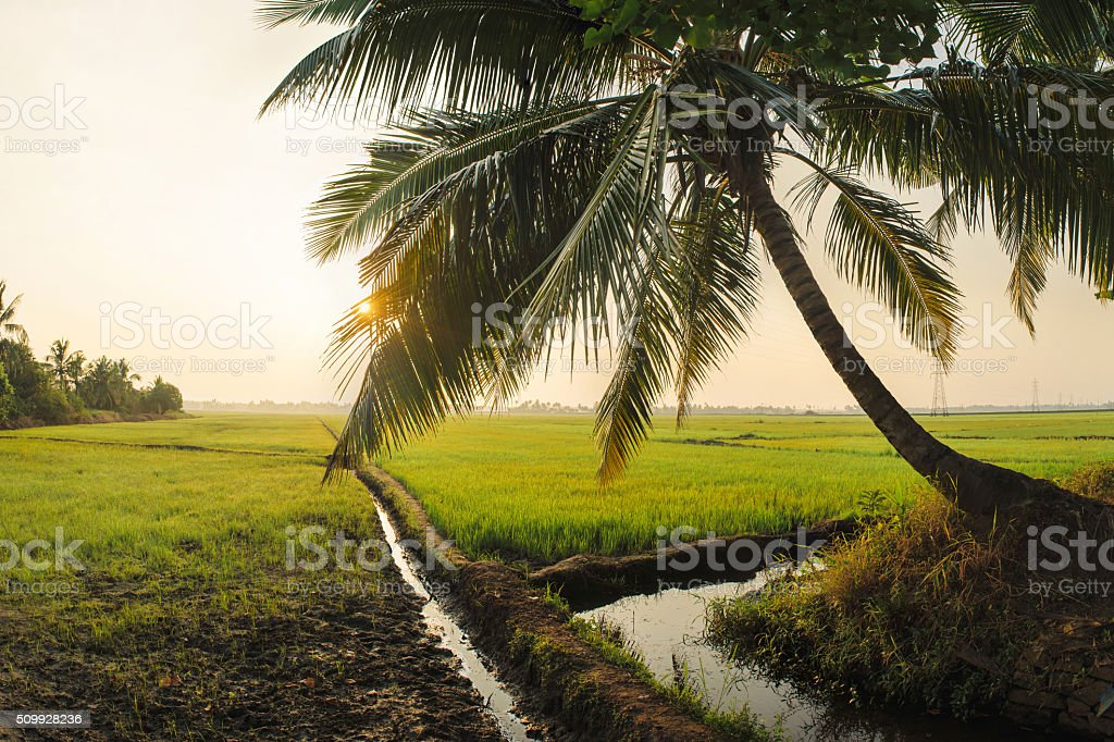 Rice Field in the Morning stock photo