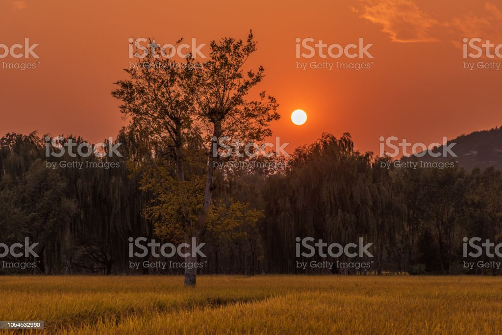 Rice field in the sunset stock photo
