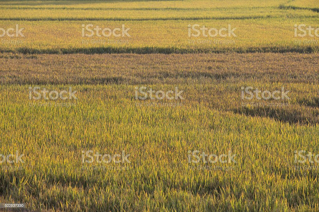 Rice field in the Vietnamese countryside stock photo
