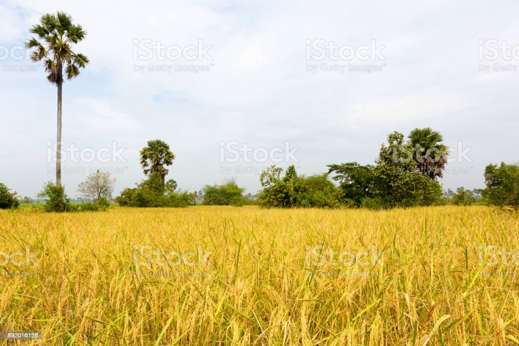 Rice Field Landscape Just Before Harvesting stock photo