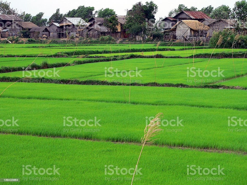 Rice Field near Inle Lake royalty-free stock photo