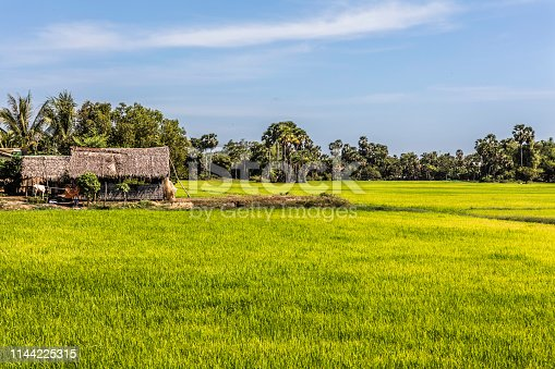 A small farm &  rice field on a sunny Cambodian afternoon