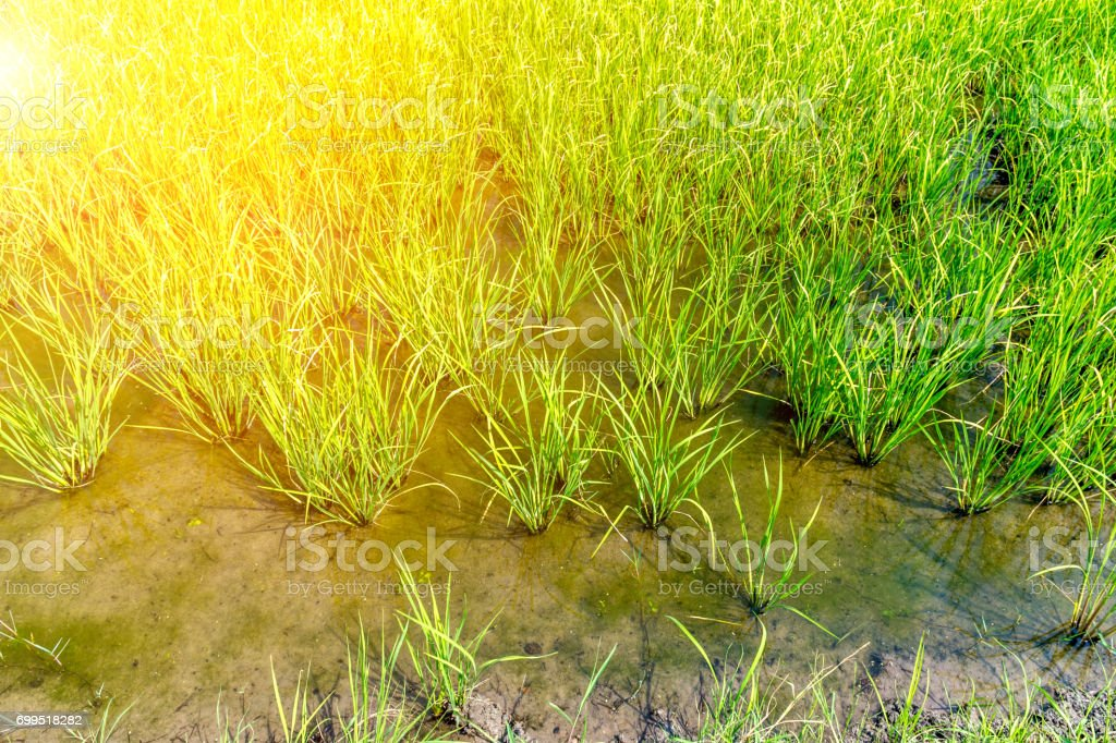 Rice field on rice paddy green color lush growing is a agriculture in asia stock photo
